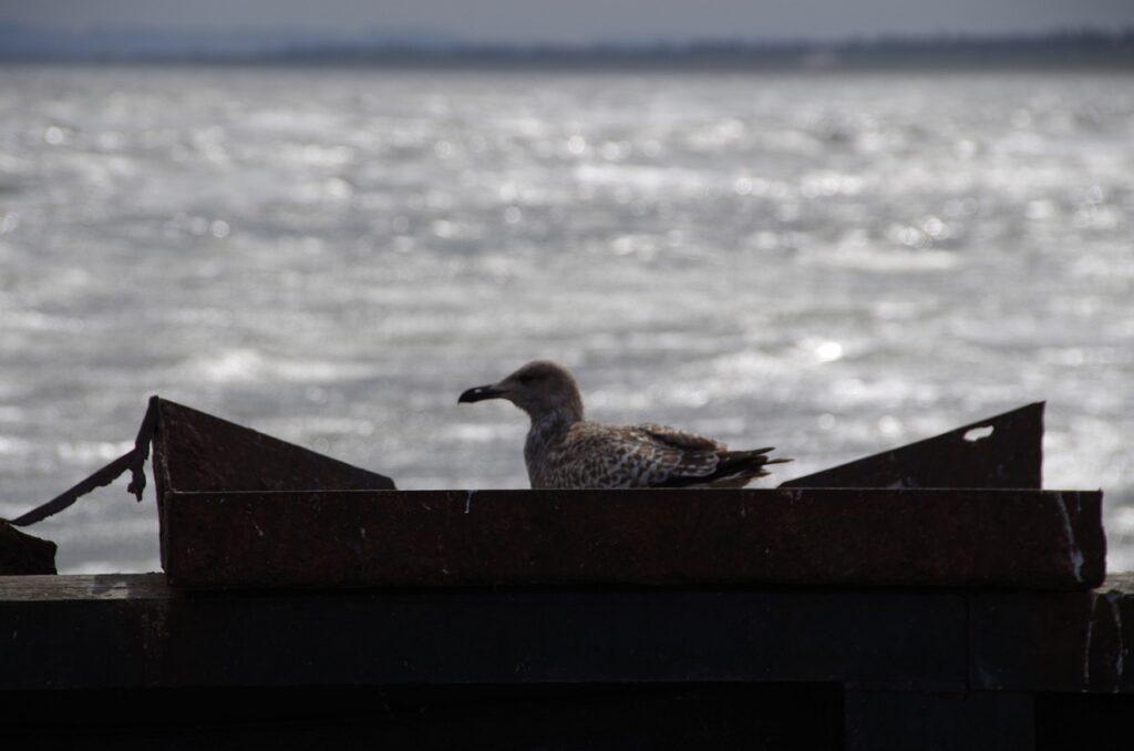 fiskmås i båt med vatten i bakgrunden