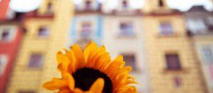 blomma framför husfasader