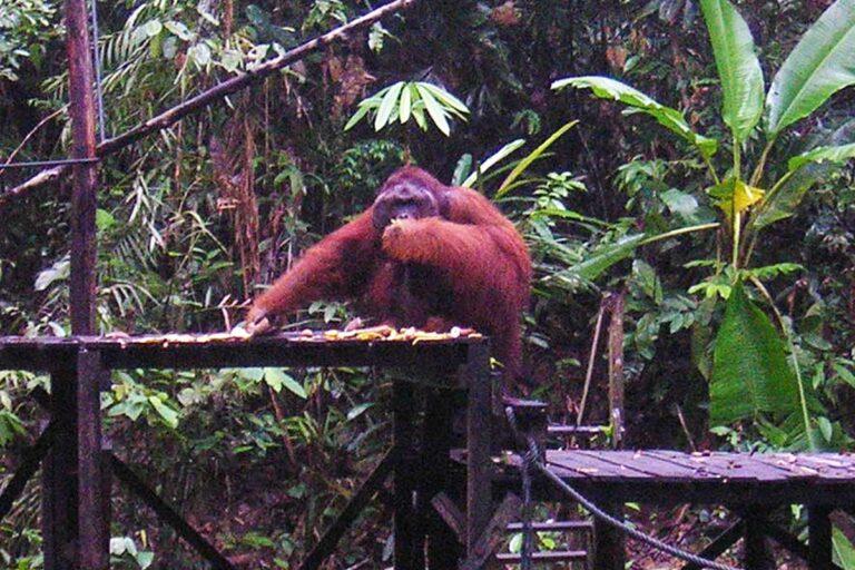 Orangutang på Borneo.