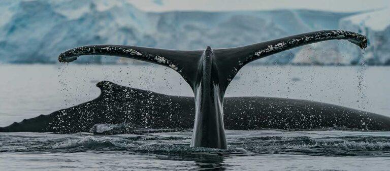 svarta valar i havet framför isberg