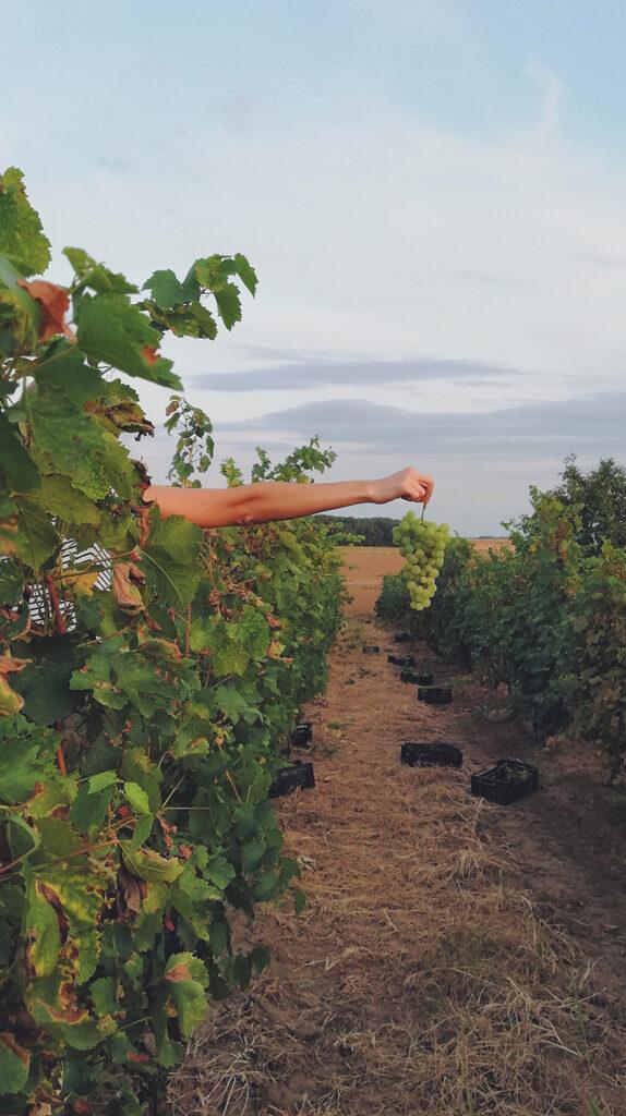 druvor på ett vinfält