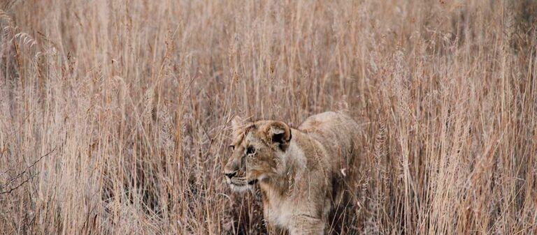 lejon i gräs
