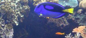 lila och orange fiskar som simmar i havet