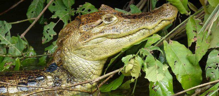 Huvudet på en krokodil