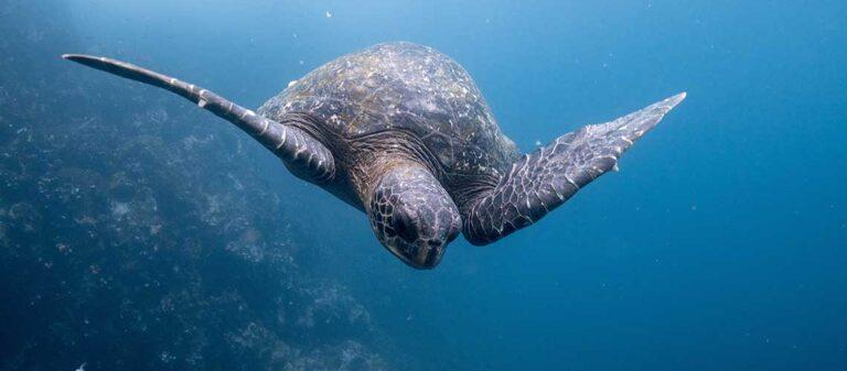 undervattensbild på havssköldpadda