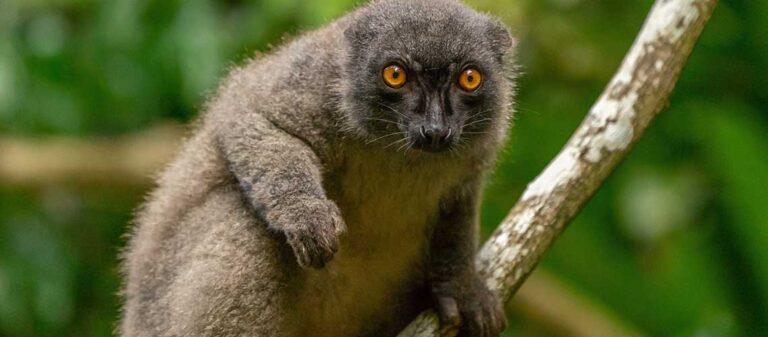 lemur på gren