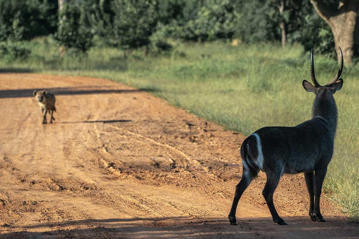 hyena och vattenbock