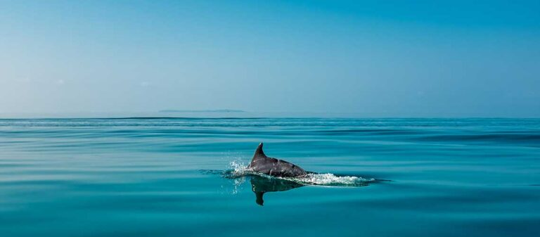 delfin vid vattenytan