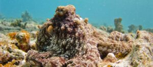 brun bläckfisk under vattnet