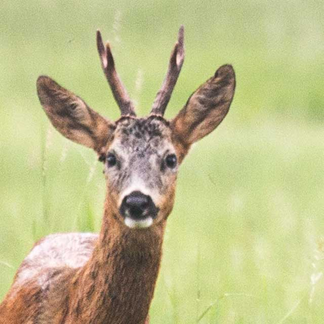 brunt rådjur på ett grönt fält