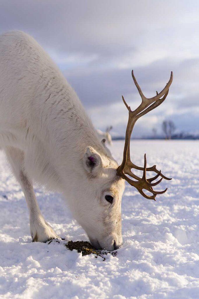 ren som äter mat på snötäckt mark