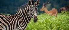 zebra och antilop
