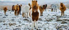 bruna och vita islandshästar på snötäckt mark