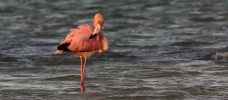 flamingo som står i vattnet